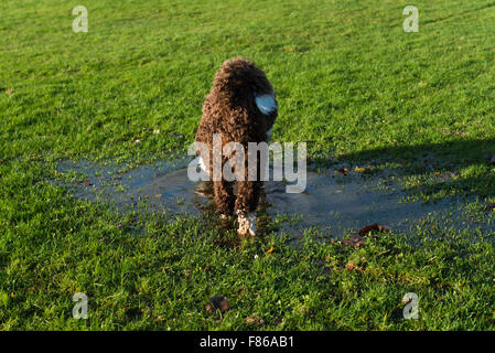Spanish water dog playing in water puddle - Stock Photo