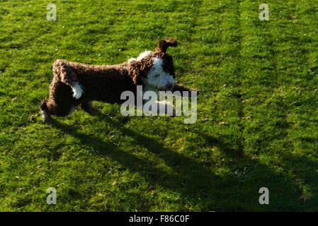 Spanish water dog playing and running - Stock Photo