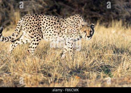 Cheetah (Acinonyx jubatus) [CAPTIVE] - Africat Rehabilitation Sanctuary, Okonjima, Namibia, Africa - Stock Photo