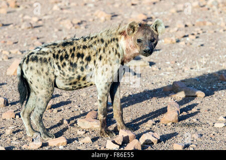 Spotted Hyena (Crocuta crocuta) - Desert Rhino Camp, Namibia, Africa - Stock Photo