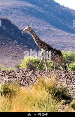 Southern Giraffe (Giraffa camelopardalis) - Omatendeka Conservancy - Damaraland, Namibia, Africa - Stock Photo