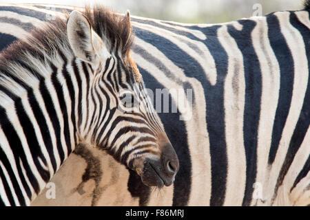 Burchell's zebra (Equus quagga burchellii) - Andersson's Camp - near Etosha National Park - Namibia, Africa - Stock Photo