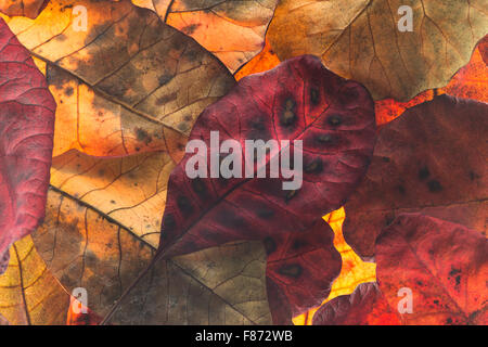 reds and oranges of leaves in the fall autumn before shed from tree vivid bright colors overlapping backlit - Stock Photo