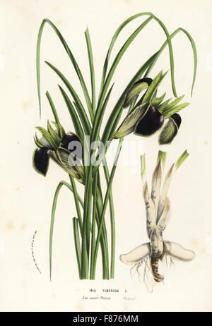 Snake's-head or widow iris, Iris tuberosa. Handcoloured lithograph from Louis van Houtte and Charles Lemaire's Flowers - Stock Photo