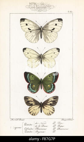 Green-veined white, Pieris napi, small white, Pieris rapae, mountain clouded yellow, Colias phicomone, and dark - Stock Photo