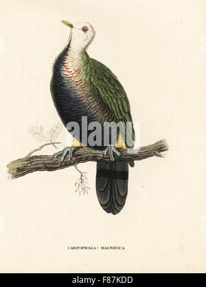 Wompoo fruit dove, Ptilinopus magnificus. (Magnificent fruit pigeon, Carpophaga magnifica.) After an illustration - Stock Photo