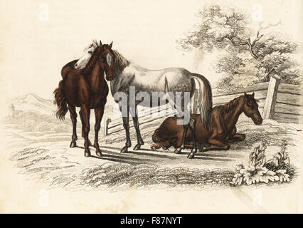 Hungarian warmblood horse, Equus caballus var. hungaricus. Handcoloured lithograph from Georg Friedrich Treitschke's - Stock Photo