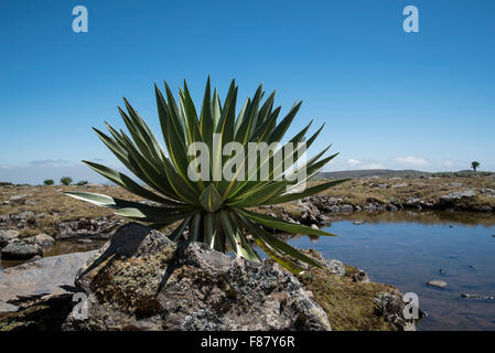 A non-flowering Giant Lobelia on the Sanetti plateau in Ethiopia - Stock Photo