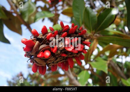 Magnolia grandiflora seed cone - Stock Photo