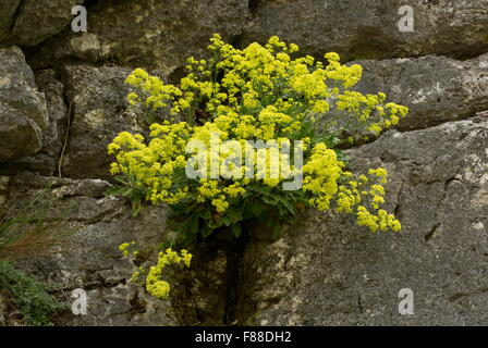 Shrubby biscutella, Shrubby buckler-mustard, Biscutella frutescens on cliff-face, Sierra de Grazalema. Spain. - Stock Photo