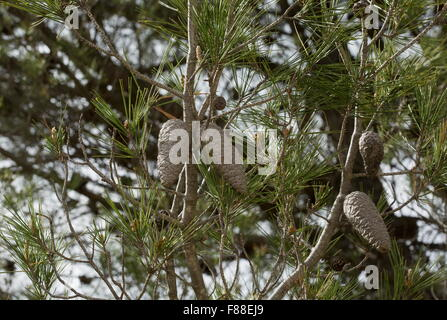 Cones of Aleppo pine, Pinus halepensis, south-west Spain. - Stock Photo