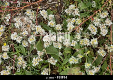 Algerian Tea, Paronychia argentea in flower. - Stock Photo