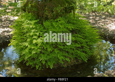 Maidenhair fern, Adiantum capillus-veneris, around water-fed garden feature. Spain. - Stock Photo