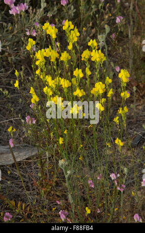 A yellow toadflax, Linaria spartea, growing on sand, south-west Spain. - Stock Photo