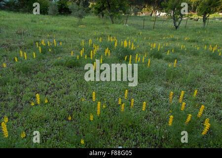 annual yellow-lupin, or European yellow lupin, Lupinus luteus, in small field, Sierra de Grazalema, Spain. - Stock Photo
