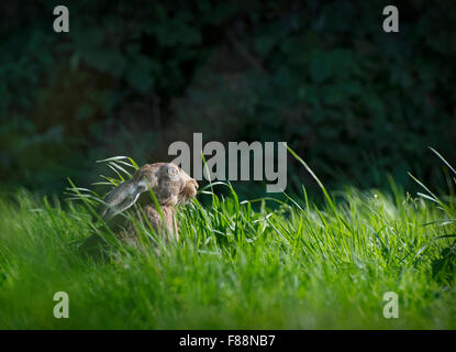 Brown hare, Lepus europaeus, in long grass at edge of woods, Lancashire, UK - Stock Photo