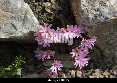 Lewisia (Lewisia cotyledon) in rockery, pale pink flowers, from above - Stock Photo