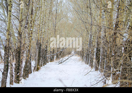 winter landscape of a poplar in a row - Stock Photo