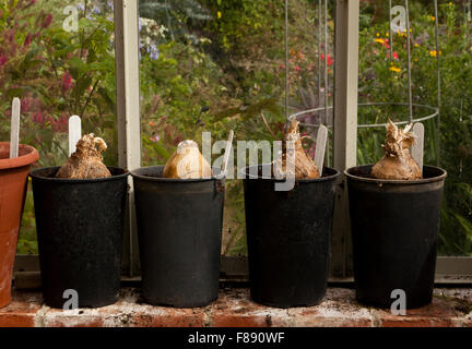 Four Amaryllis bulbs in pots in a greenhouse - Stock Photo