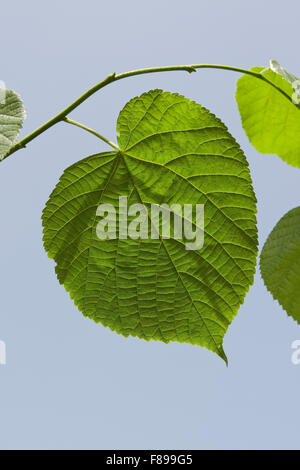 Large Leaved Lime, Linden, leaf, leaves, Sommerlinde, Sommer-Linde, Linde, Blätter, Blatt, Tilia platyphyllos - Stock Photo