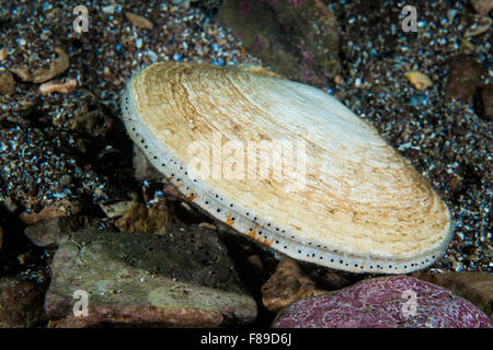Atlantic Deep-sea scallop underwater in the St. Lawrence River in Canada - Stock Photo