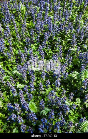 Blue bugle / bugleherb / bugleweed / carpetweed / carpet bungleweed / common bugle (Ajuga reptans) in flower - Stock Photo