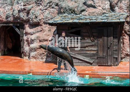 California sea lion (Zalophus californianus) jumping through hoop held by trainer during show, Cabarceno Natural - Stock Photo