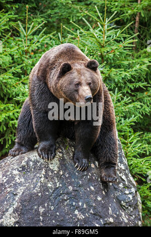 Eurasian brown bear (Ursus arctos arctos) sitting on rock in coniferous woodland - Stock Photo