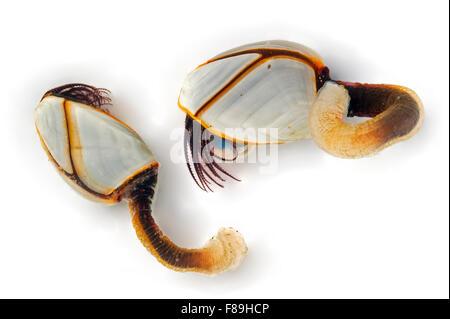 Common goose barnacles / pelagic gooseneck barnacle / smooth gooseneck barnacles (Lepas anatifera) on white background - Stock Photo