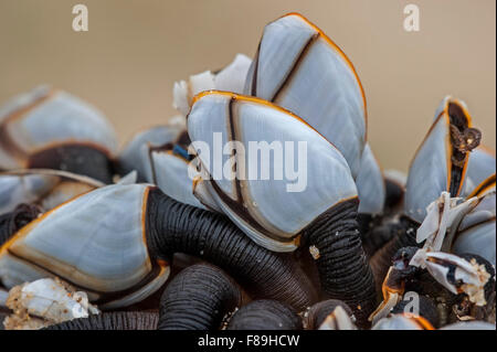 Common goose barnacles / pelagic gooseneck barnacle / smooth gooseneck barnacles (Lepas anatifera) washed on beach - Stock Photo