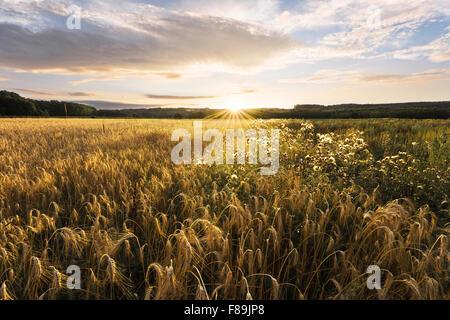Cornfield, Swabia Bavaria, Germany, Europe - Stock Photo
