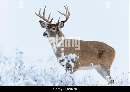 White-tailed deer buck in snow, Western US - Stock Photo