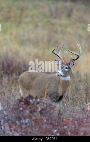 White-tailed Deer Buck, Western US - Stock Photo