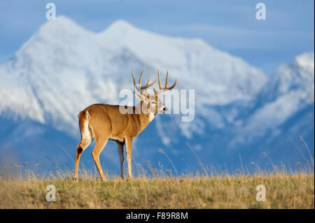 A white-tailed buck (Odocoileus virginianus) stands in front of snow capped mountains, North America - Stock Photo
