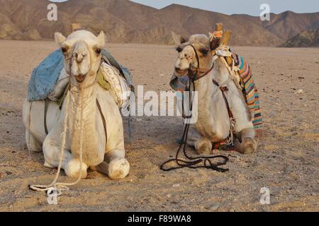 Pair of camels laying down together in the desert - Stock Photo