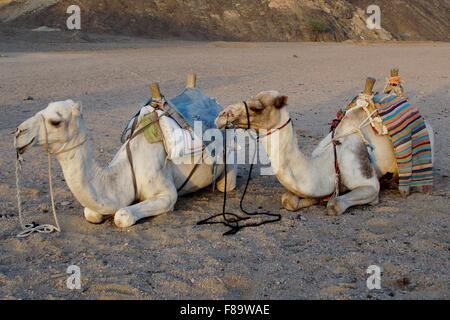 Pair of camels laying down next to each other in the desert - Stock Photo