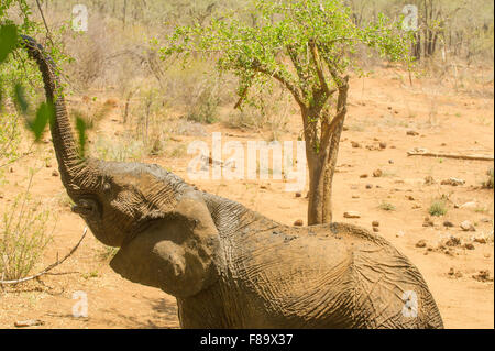 African Elephant stretching - Stock Photo
