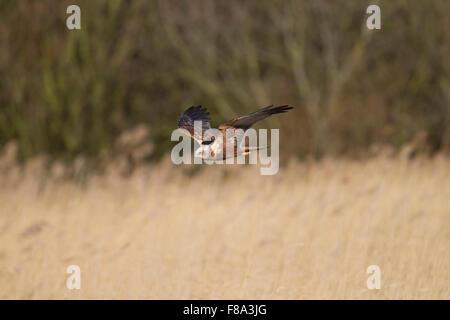 immature male Marsh Harrier in flight, - Stock Photo