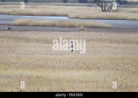 adult male Marsh Harrier in flight over large reedbed - Stock Photo