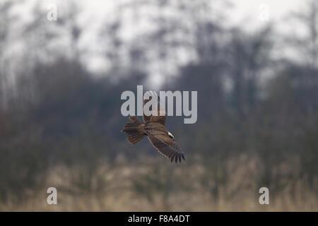 juvenile / first winter Marsh Harrier in flight - Stock Photo