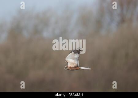 Male Marsh Harrier in flight - Stock Photo