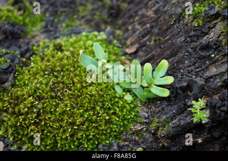 A small bed of moss growing on a tree. - Stock Photo