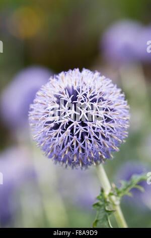 Echinops bannaticus 'Taplow Blue'. Globe thistle flower. - Stock Photo
