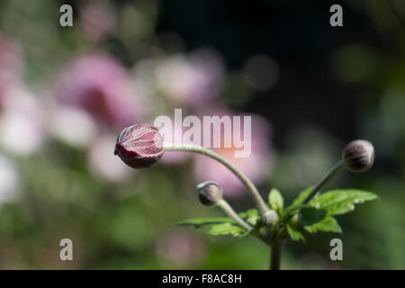 Japanese Anemone (Anemone hupehensis) in a garden in August, England, UK - Stock Photo