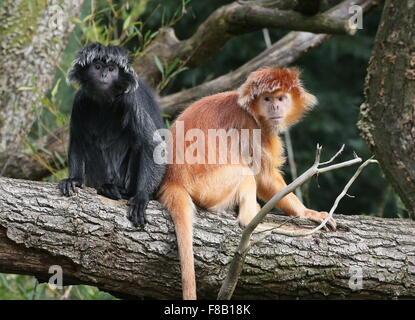 ebony langur monkeys