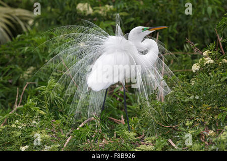 Great Egret - Stock Photo