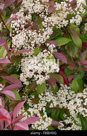 Red Robin, Red Tip Photinia, Red-Tipped Photinia, Fraser's Photinia, Christmas berry, Rotlaubige Glanzmispel, Photinia - Stock Photo