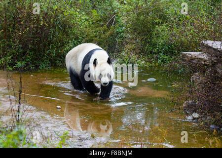 Panda Ailuropoda melanoleuca Bifengia Panda Base Sichuan Province China MA003064 - Stock Photo