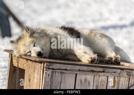 Sledding dog, Ilulissat Greenland 2015 - Stock Photo
