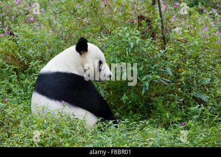 Panda Ailuropoda melanoleuca Bifengxia Panda Base Sichuan Province China MA003073 - Stock Photo